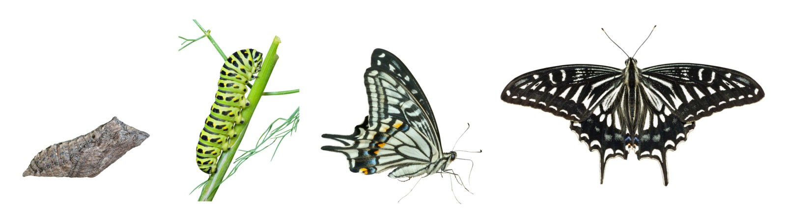 The stages of development butterfly (Papilio xuthus). Isolated on white.